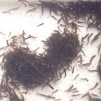 河南鄭州哪里有賣泥鰍苗的