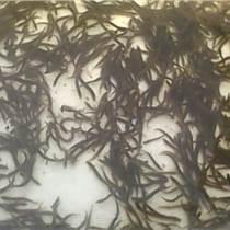 河南新乡泥鳅苗出售