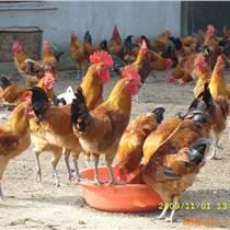 宣漢雞苗批發宣漢今日雞苗價格宣漢青腳紅羽土雞苗宣漢小青腳土雞苗