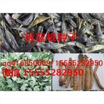 板藍根種子/板藍根籽/種植效益