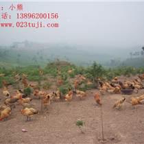 土雞養殖:怎么防治雛雞氣管堵塞