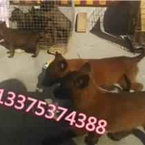 西宁湟源哪里有卖纯种马犬幼崽的