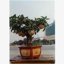 河北 果樹盆栽養護