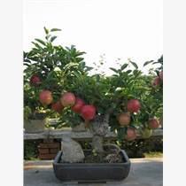 蘋果盆景養護-廠家