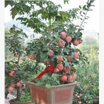 河北 蘋果盆景價格