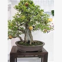 梨树盆景制作-艳永