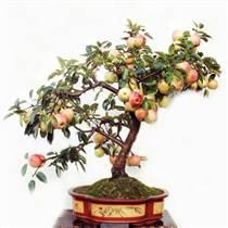 河北 蘋果盆景廠家