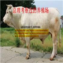 福建魯西至尊黃牛