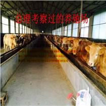 貴州魯西至尊黃牛