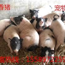 廣元哪里有養殖香豬的藏香豬養殖