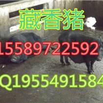 廣元香豬養殖場香豬苗