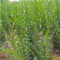 1米以上紅豆杉樹苗批發價