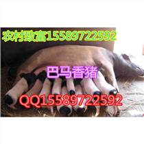 元陽縣香豬養殖基地種豬