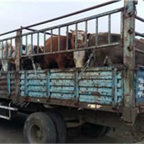 西门塔尔惠远来自草原西门塔尔牛改良品种