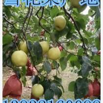 河北梨產地各種梨果大量成熟上市