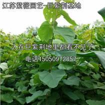 鄉土樹種巨紫荊1-4公分量大