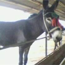 出售德州肉驢正方牧業養殖集團價格黑驢