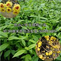 供應一年生臘梅苗芳香美化環境