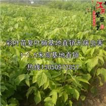 彩叶风景苗复叶槭江苏售一年生小苗
