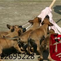 哪有卖纯血统比利时马犬的