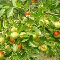 供应枣树苗、山西枣树苗基地、批发枣树苗