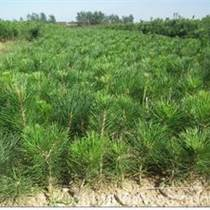 供应油松树苗、山西油松树苗基地