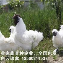 竹丝鸡苗多少钱一只,厂家竹丝鸡苗批发