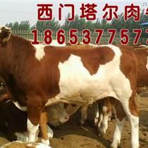 肉牛品种优|西门塔尔肉牛|肉牛犊断奶技术|昊绿源肉牛养殖场