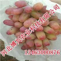 邯郸美人指葡萄,河北博兴农业