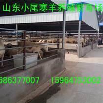 供山东小尾寒羊养殖场小尾寒羊市场价格