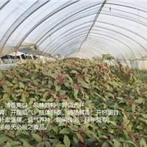 金線蓮種苗價格