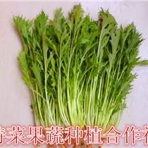京水菜種子價格