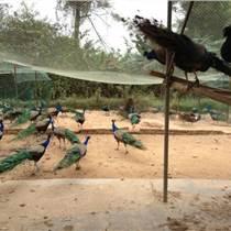 孔雀吃什么