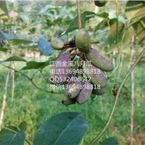 八月瓜中華腎果種子