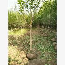 出售石榴樹苗-山東棗莊1-30公分石榴樹供應