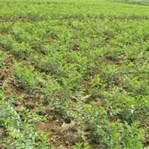 酸棗苗的種植前景 1、2年生酸棗苗200萬株 棗樹實生苗 酸棗苗科研基地