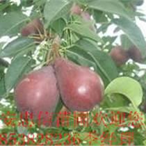 红梨树苗基地   红香酥梨树苗   红考蜜斯梨树苗