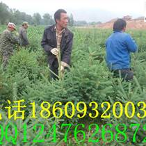 甘肅云杉-甘肅最大的云杉種植基地在哪里