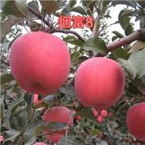 矮化煙富8蘋果苗