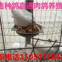 鸽子价格肉鸽价格|鸽子蛋多少钱