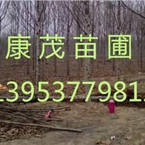 5公分法桐價格7公分法桐價格