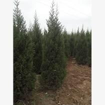 供應蜀儈1.5米高,2米5高蜀檜,3米高蜀儈價格蜀儈處理價格