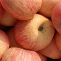 低價供應冷庫紅富士蘋果
