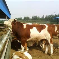 一头西门塔尔种牛多少钱哪里有卖利木赞牛肉牛犊的