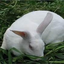 洛阳兔子回收供应安全可靠