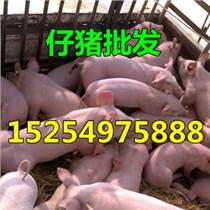批发优良仔猪价格便宜