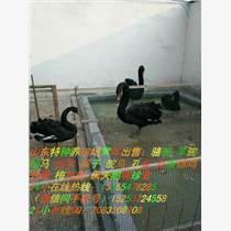 黑天鵝有養殖的嗎 黑天鵝苗價格多少錢