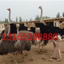 在哪里能買到非洲鴕鳥,平頂山鴕鳥養殖場