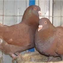 上海元寶鴿價格純種元寶鴿種鴿價格
