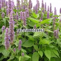 藿香種子 藿香正氣液 清熱解暑 保健蔬菜 特菜種子